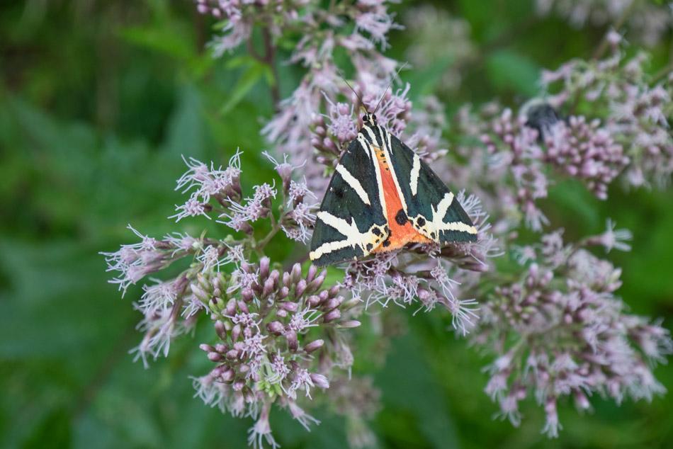 Schmetterling-Forchtenstein