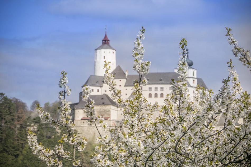 Burg-Forchtenstein-Kirschbluete