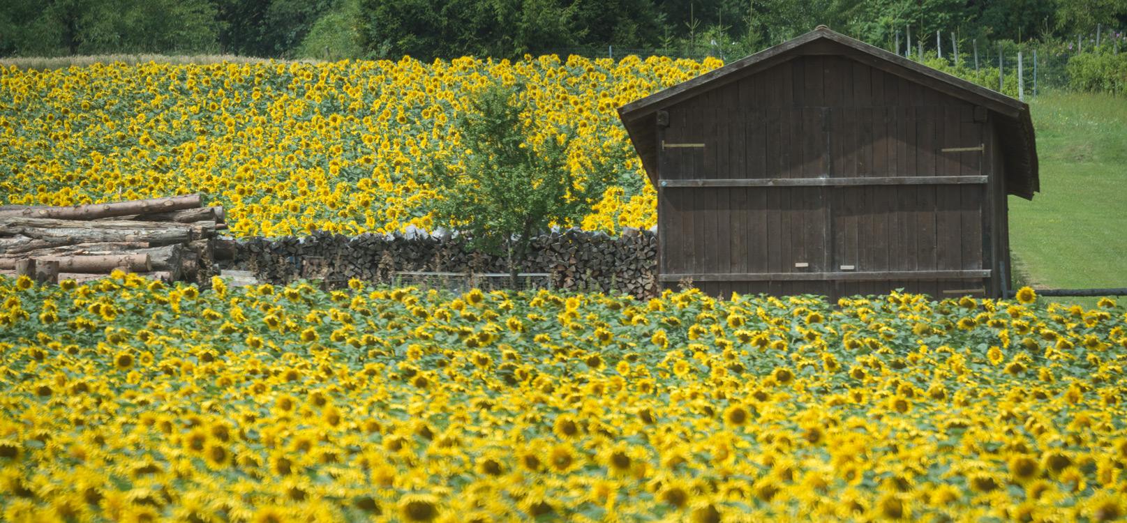 Sonnenblumen-Burgenland-01