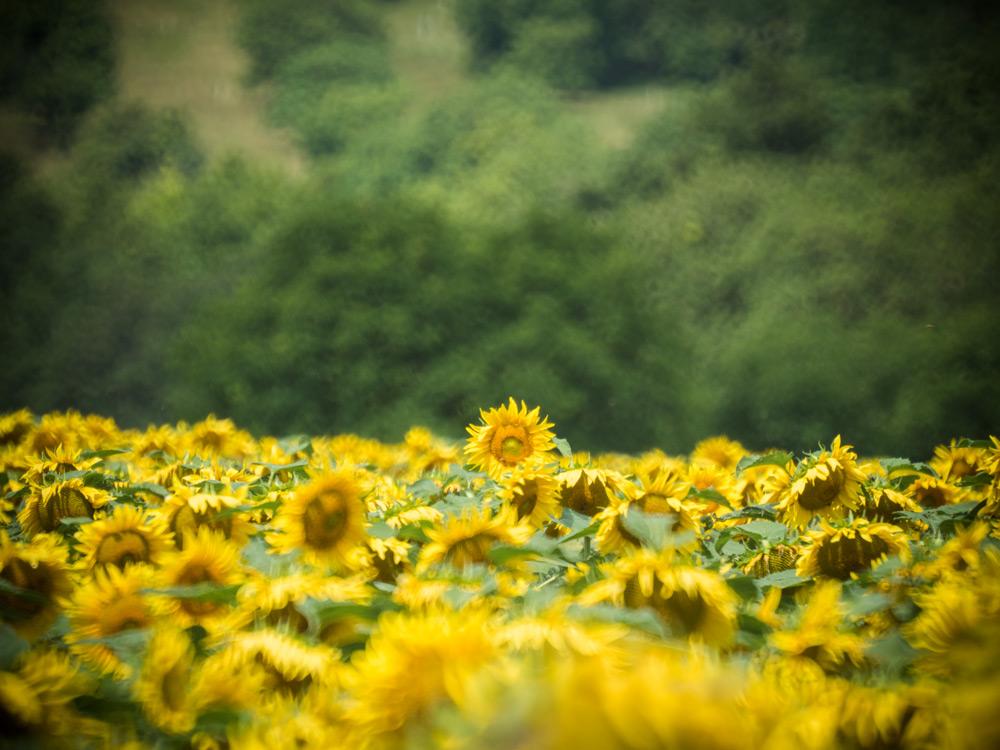 Sonnenblumen-Burgenland-02