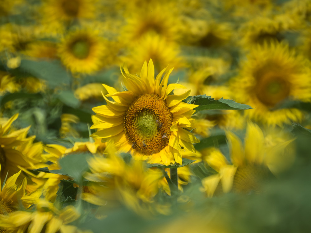 Sonnenblumen-Burgenland-03