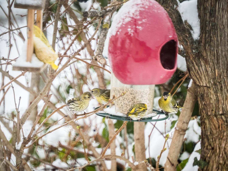 Vogelparade-Wintereinbruch-Burgenland