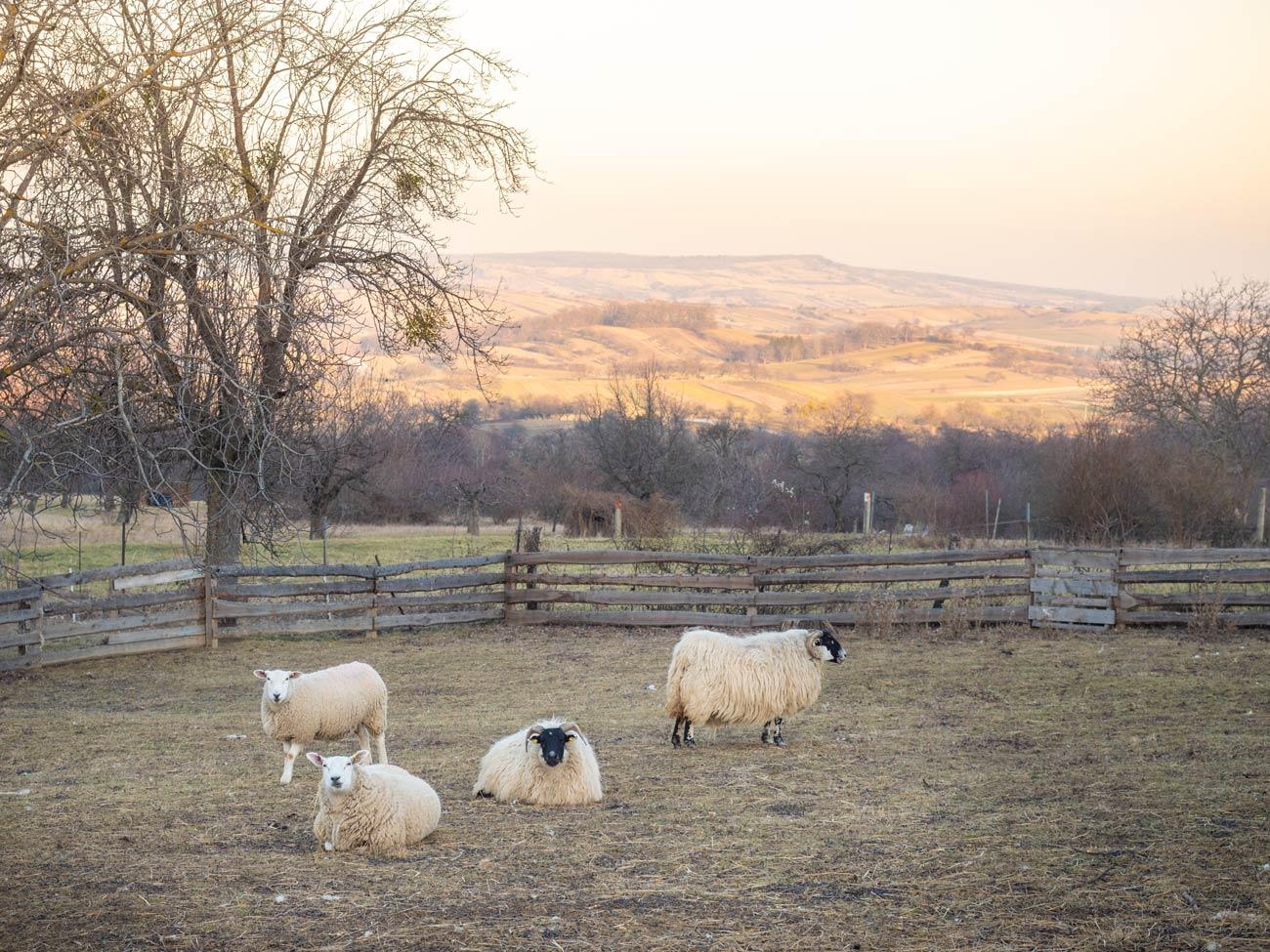 Schafe-Forchtenstein