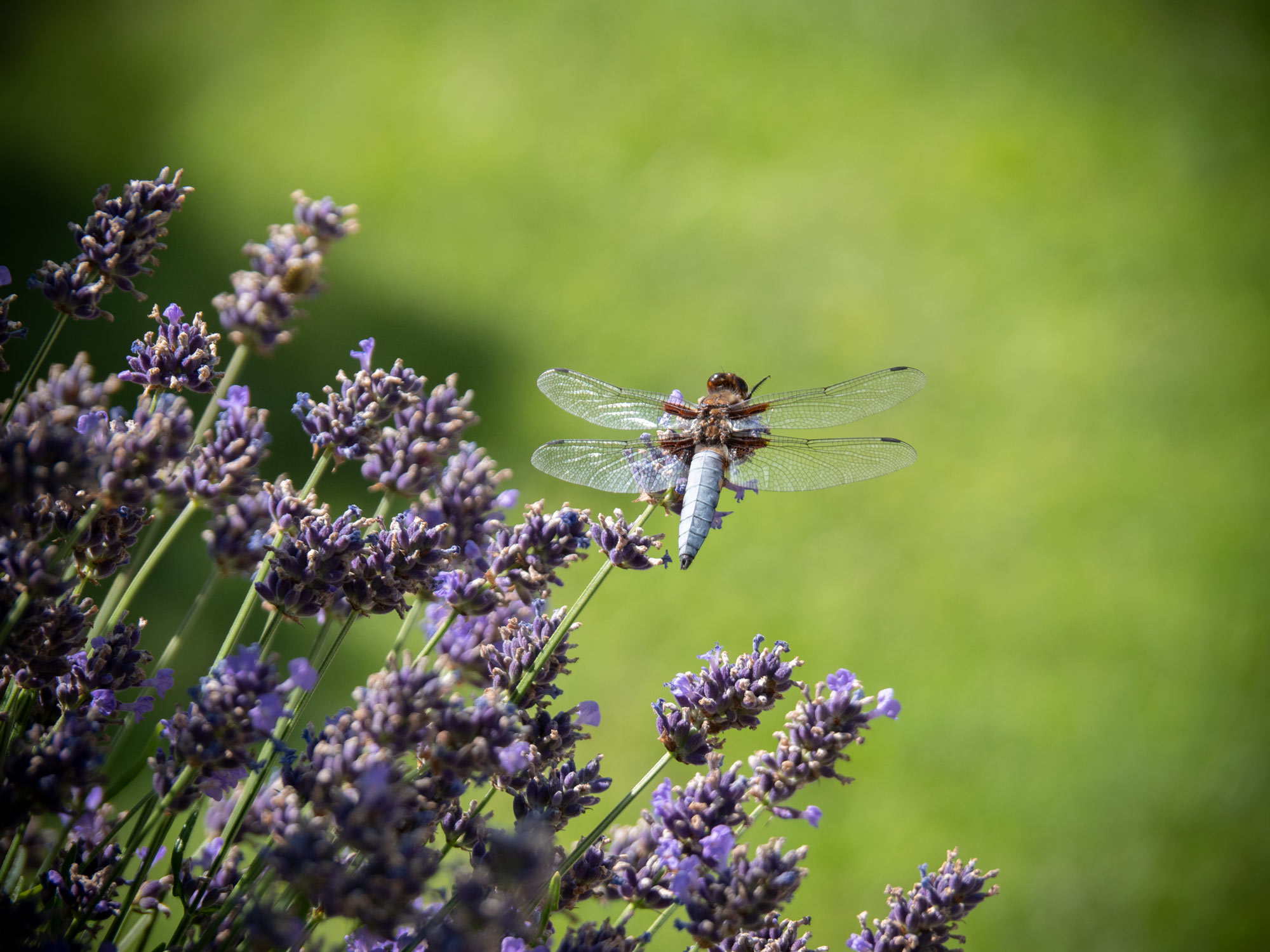 Libelle im Burgenland